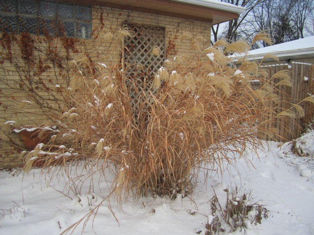 ohwhatawednesday grasses required for winter interest oh what a beautiful garden chicagoland. Black Bedroom Furniture Sets. Home Design Ideas