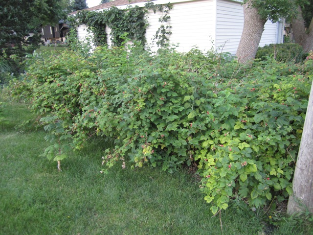 how to train a raspberry bush