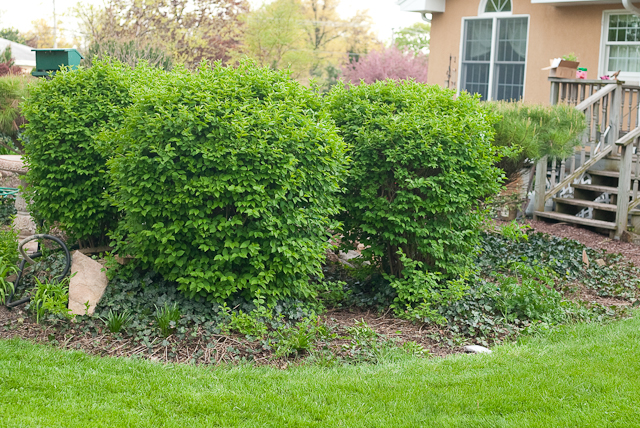 Heather s favorite low maintenance shrubs oh what a for Best low maintenance bushes