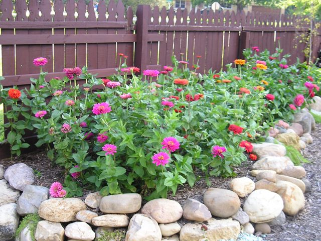 My Absolute Very Most Favorite Zinnias « Oh What A Beautiful Garden on sunflower garden bed, petunia garden bed, sweet pea garden bed, zinnia mix flower bed,