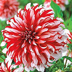 Last Minute Gift For The Gardener – Order Dahlia Tubers « Oh What A ...