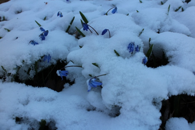 Scilla in snow