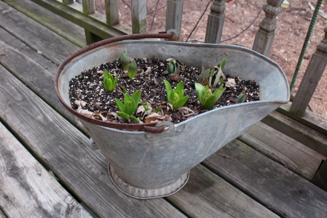 Hyacinths and lettuce in coal bucket
