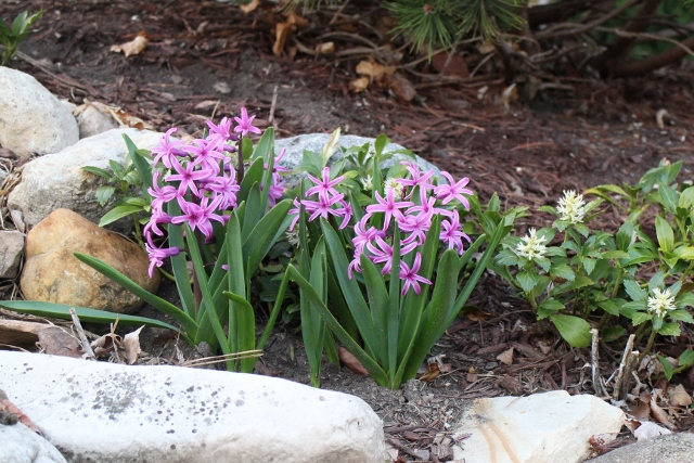 Purple hyacinth on berm