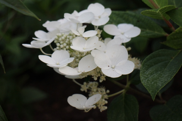 Wedding gown hydrangea closeup